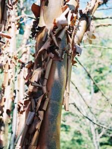 Acer griseum - sivi javor 01