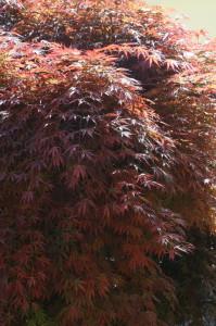 Acer palmatum 'Atropurpureum' 01