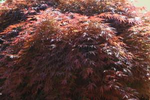 Acer palmatum 'Atropurpureum' 02
