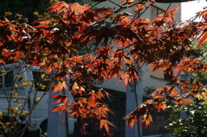 Acer palmatum 'Atropurpureum' - rdečelistni javor 01