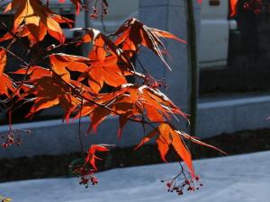 Acer palmatum 'Atropurpureum' - rdečelistni javor 02