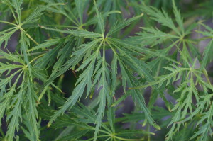 Acer palmatum 'Disectum Garnet' - japonski javor zelen 01