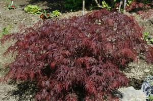 Acer palmatum 'Disectum Garnet' - rdeči japonski javor 01