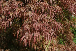 Acer palmatum 'Disectum Garnet' - rdeči japonski javor 02