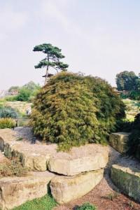 Acer palmatum 'Ornatum' - japonski javor zelen 01