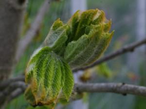 Aesculus hippocastanum - divji kostanj 02