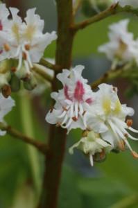 Aesculus hippocastanum - divji kostanj 06