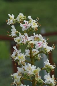 Aesculus hippocastanum - divji kostanj 07