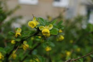 Berberis buxifolia 'Nana' - češmin 01