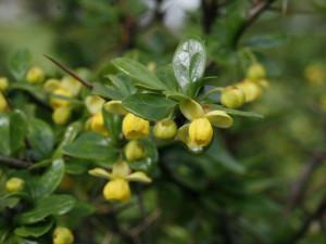 Berberis buxifolia 'Nana' - češmin 02