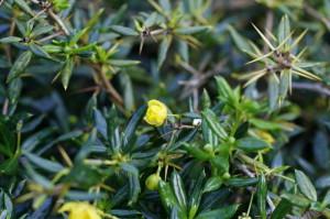 Berberis buxifolia 'Nana' - češmin 04