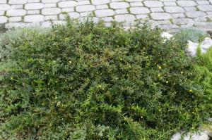 Berberis buxifolia 'Nana' - češmin 05