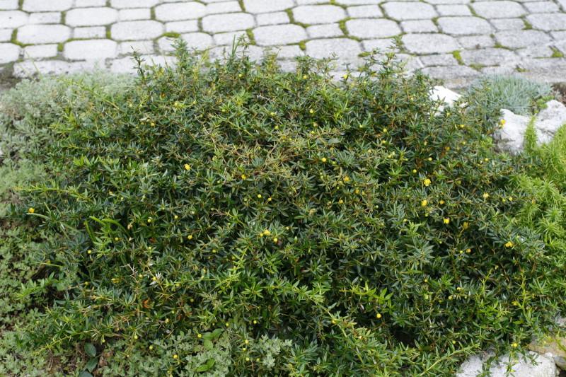 berberis buxifolia 39 nana 39 e min vrtovi ta kar. Black Bedroom Furniture Sets. Home Design Ideas