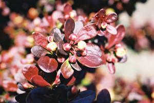 Berberis thunbergii 'Atropurpurea Nana' - češmin rdečelistni nizek 01