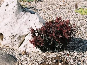 Berberis thunbergii 'Atropurpurea Nana' - češmin rdečelistni nizek 02