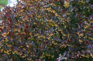 Berberis thunbergii 'Atropurpurea' - rdečelistni češmin 03