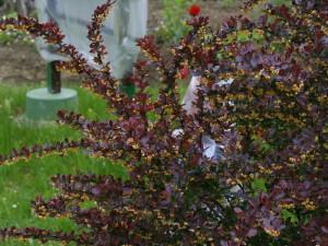 Berberis thunbergii 'Atropurpurea' - rdečelistni češmin 04