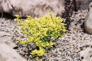 Berberis thunbergii 'Bonanza Gold' - češmin rumeni nizek 01
