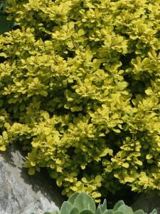 Berberis thunbergii 'Bonanza Gold' - češmin rumeni nizek 02