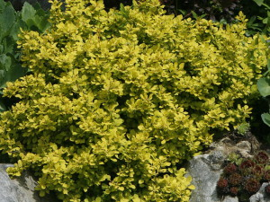 Berberis thunbergii 'Bonanza Gold' - češmin rumeni nizek 03