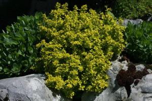 Berberis thunbergii 'Bonanza Gold' - češmin rumeni nizek 04