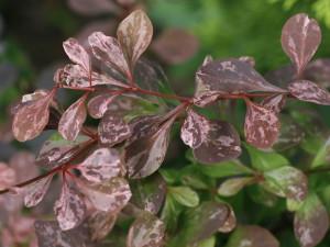Berberis thunbergii 'Rose Glow' - rdečelistni češmin 01
