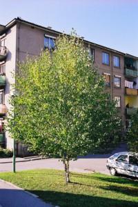 Betula pendula - breza 01