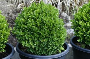Buxus sempervirens - navadni pušpan 06