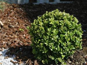 Buxus sempervirens - navadni pušpan 07