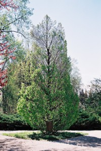 Carpinus betulus 'Fastigiata' - stebrasti gaber 01