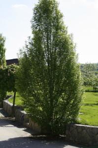 Carpinus betulus 'Fastigiata' - stebrasti gaber 02