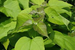 Catalpa bignonoides 'Nana' - kroglasti cigarovec 02