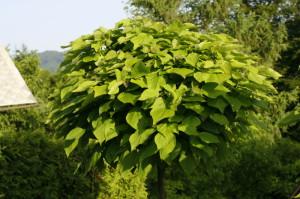 Catalpa bignonoides 'Nana' - kroglasti cigarovec 03