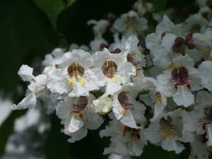 Catalpa bignonoides - cigarovec 02