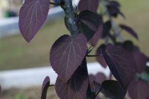 Cercidiphyllum japonicum 'Rot Fuchs' - cercidofil 01