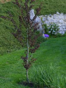 Cercidiphyllum japonicum 'Rot Fuchs' - cercidofil 02