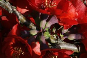 Chaenomeles japonica - japonska kutina 04