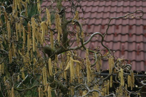 Corylus avellana 'Contorta' - skrivenčena leska 06