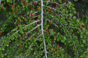 Cotoneaster horizontalis - pahljačasta panešpljica 01