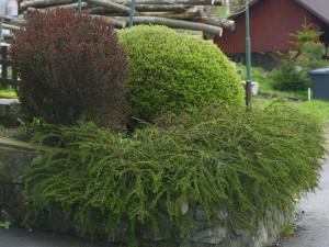 Cotoneaster horizontalis - pahljačasta panešpljica 02