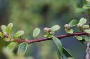 Cotoneaster sp. - panešpljica 01