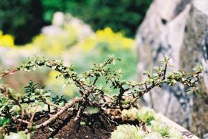 Cotoneaster sp. - panešpljica 02