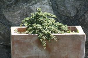 Cotoneaster sp. - panešpljica 03