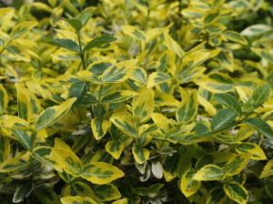 Euonymus fortunei 'Emerald Gold' - japonska trdoleska' 02