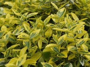 Euonymus fortunei 'Emerald Gold' - japonska trdoleska 03