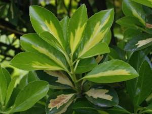 Euonymus japonica - japonska trdoleska 04