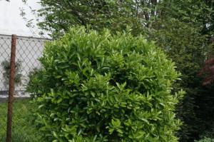 Euonymus japonica - japonska trdoleska 05