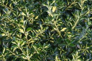 Euonymus japonica - japonska trdoleska 06