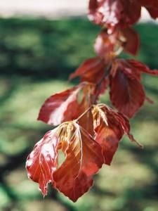Fagus sylvatica 'Atropurpurea' - rdečelistna bukev 01