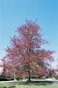 Fagus sylvatica 'Atropurpurea' - rdečelistna bukev 02